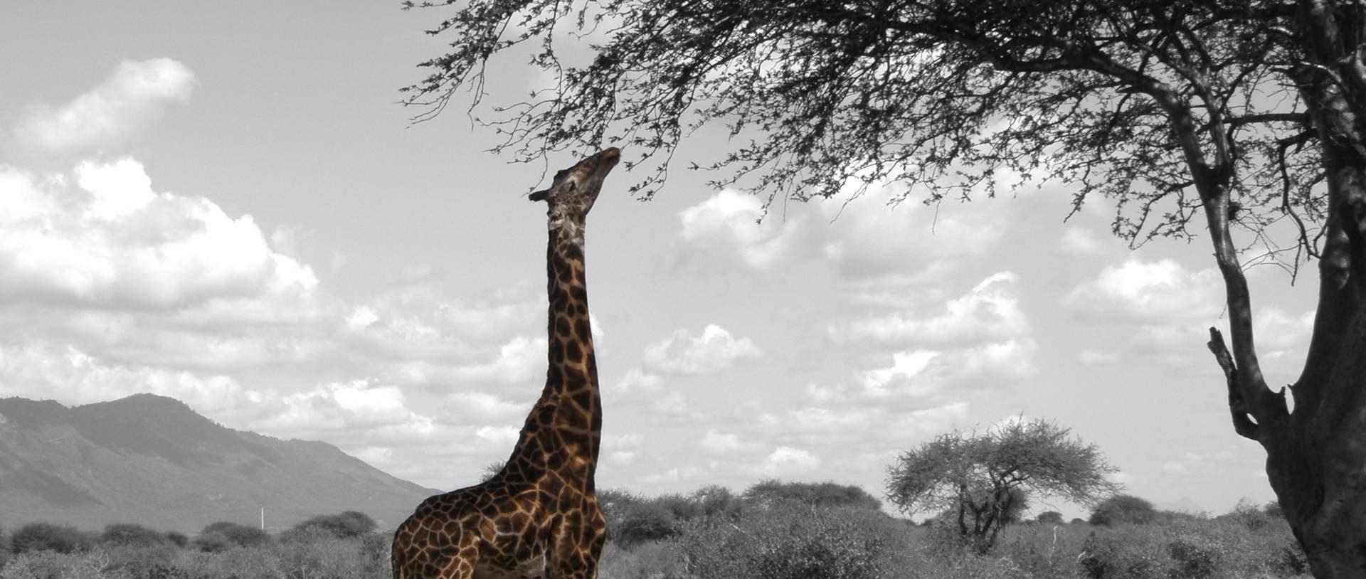 Giraffe gedreht